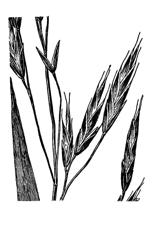 Bromus aleutensis,