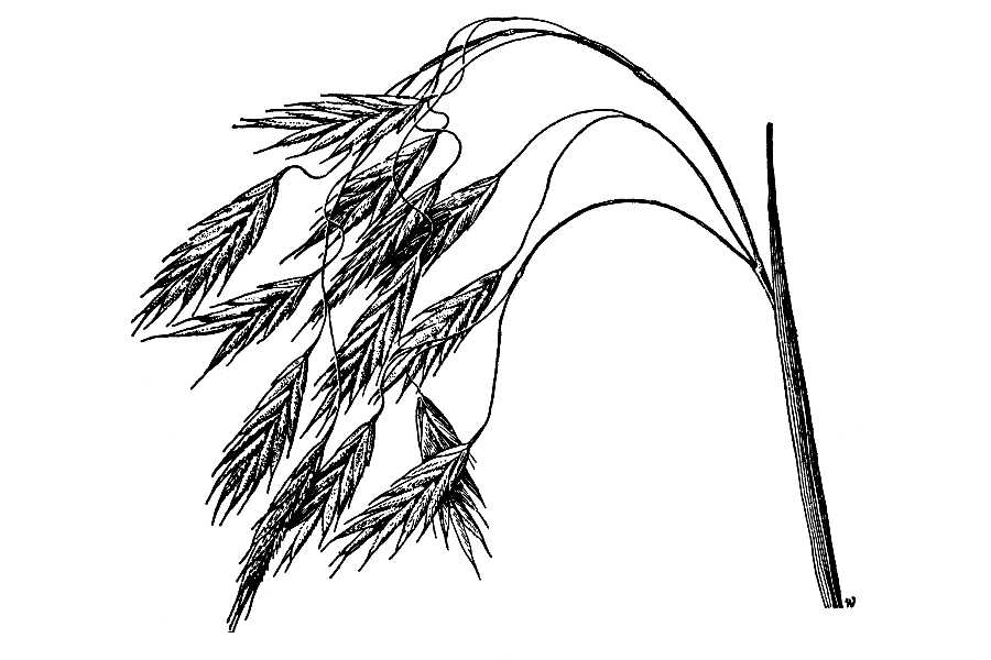 Bromus anomalus,