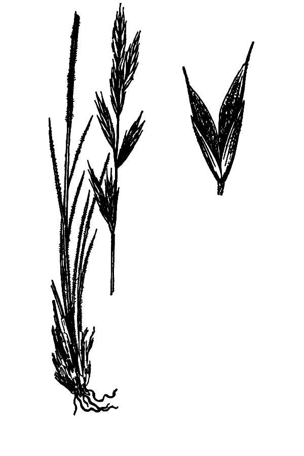 Bromus breviaristatus,
