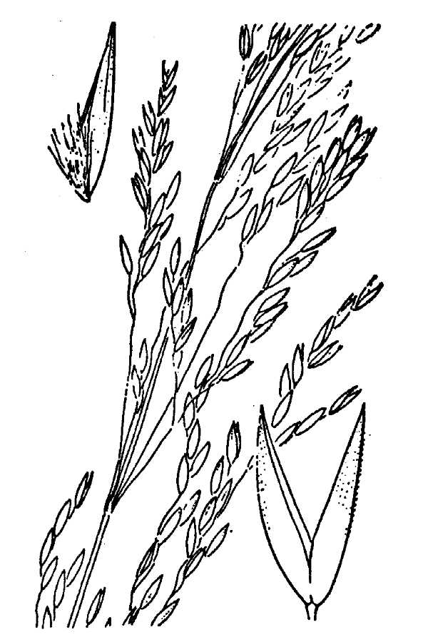 Agrostis hallii,