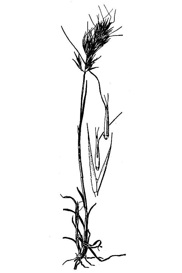 Agrostis hendersonii,