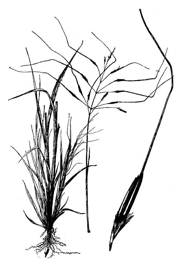 Chrysopogon pauciflorus,