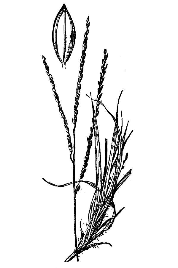 Digitaria laeviglumis