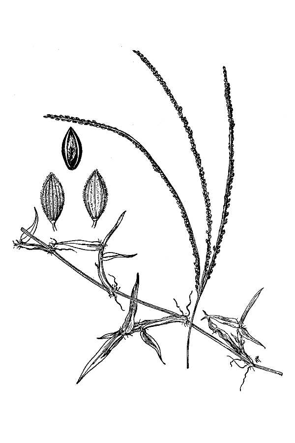 Digitaria longiflora,