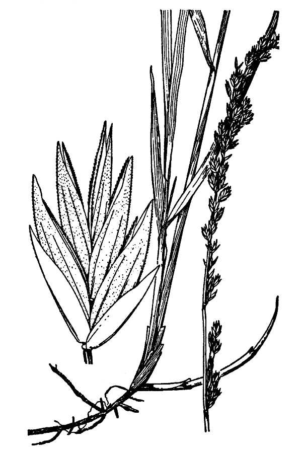 Festuca kingii,