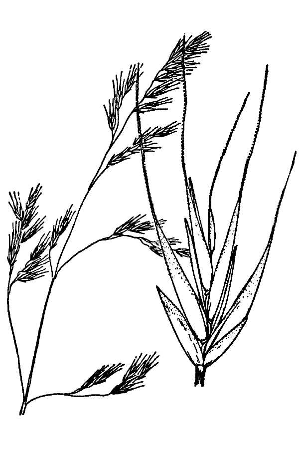 Festuca occidentalis,