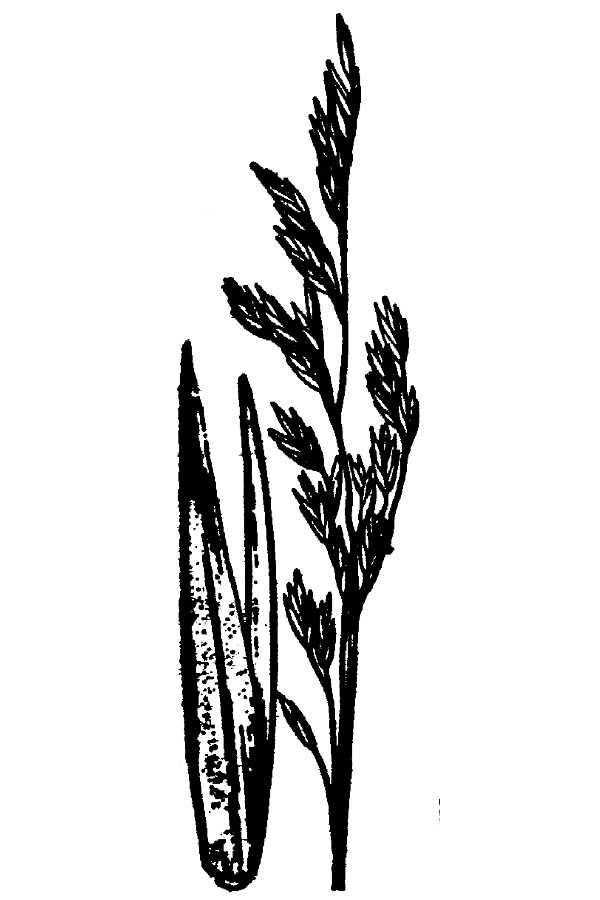 Festuca scabrella,