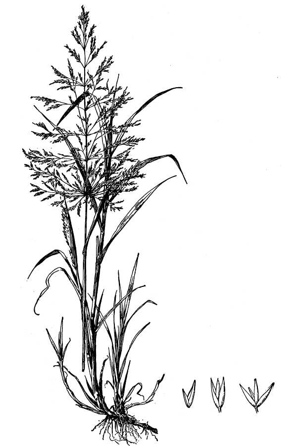 Agrostis alba,