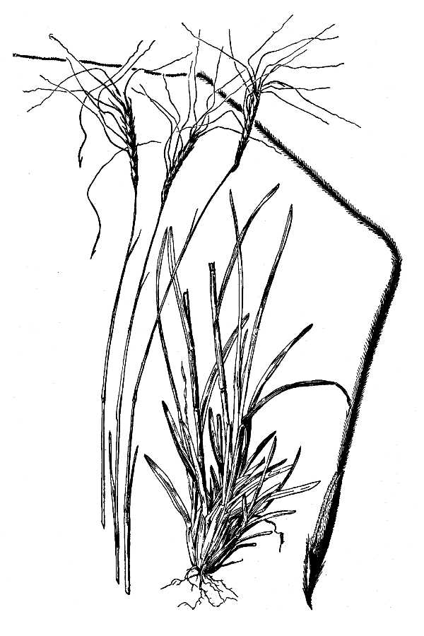 Heteropogon contortus,