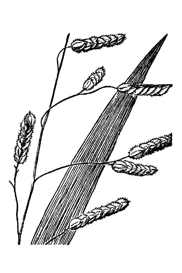 Leersia lenticularis,