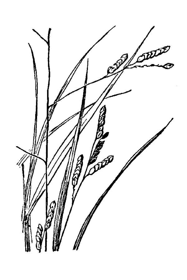 Leersia monandra,