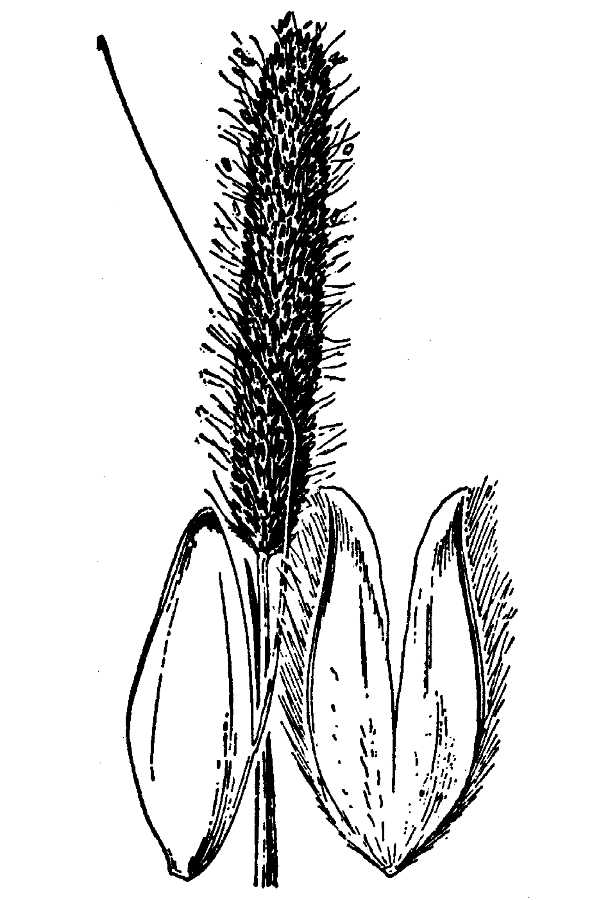 Alopecurus howellii