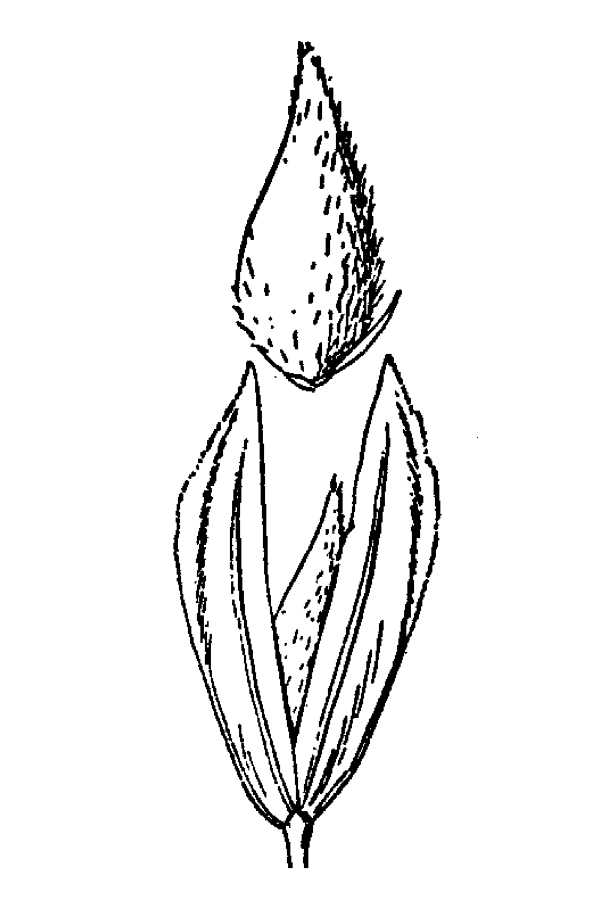 Phalaris tuberosa var. stenoptera