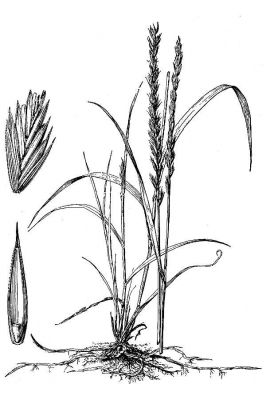 Agropyron repens -