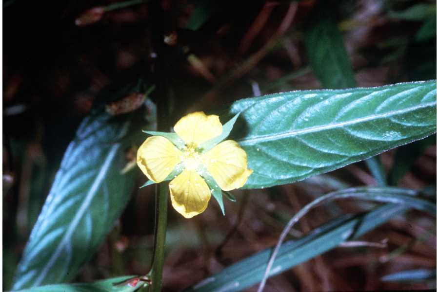 Ludwigia alternifolia,