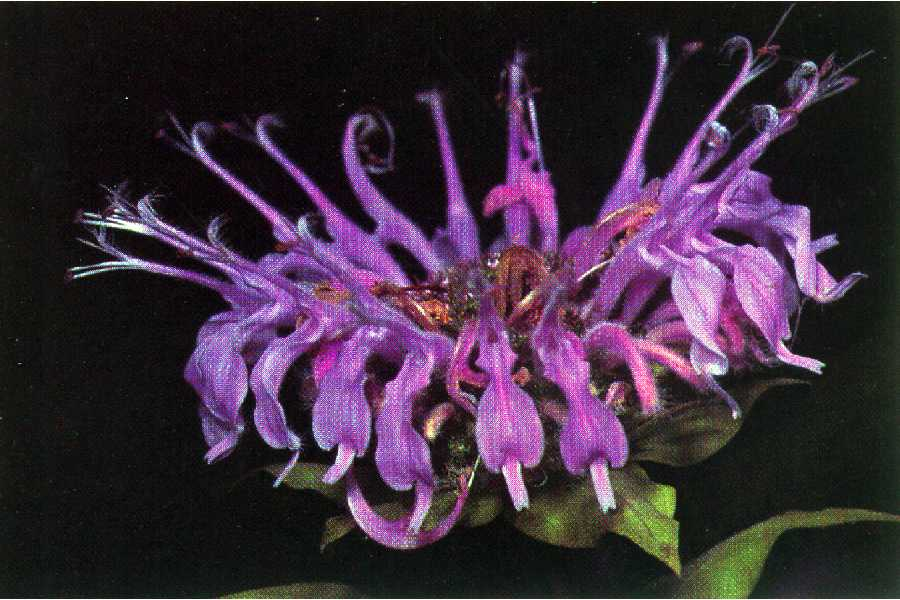 монарда растение