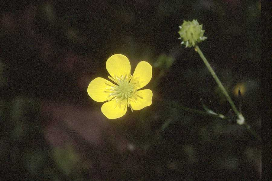 Ranunculus carolinianus