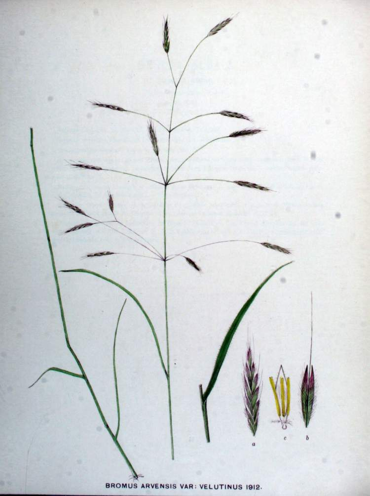 Bromus arvensis var. velutinus
