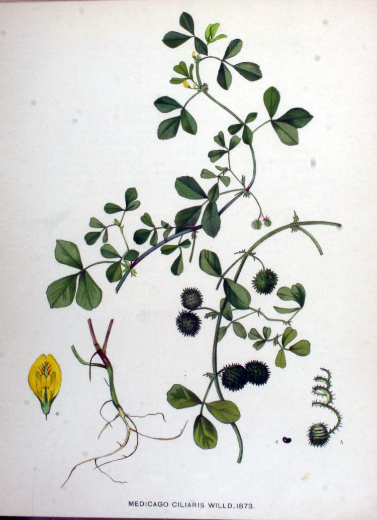 Medicago intertexta subsp. ciliaris (L.) Ponert