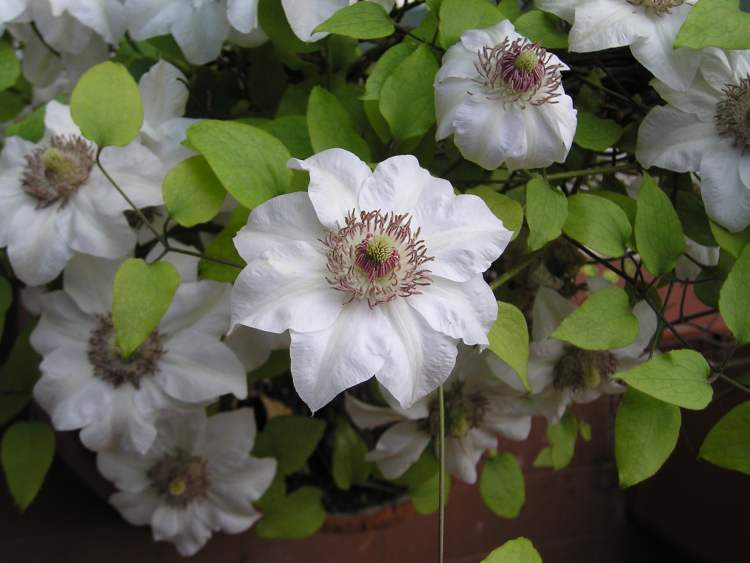 Clematis Miss Bateman