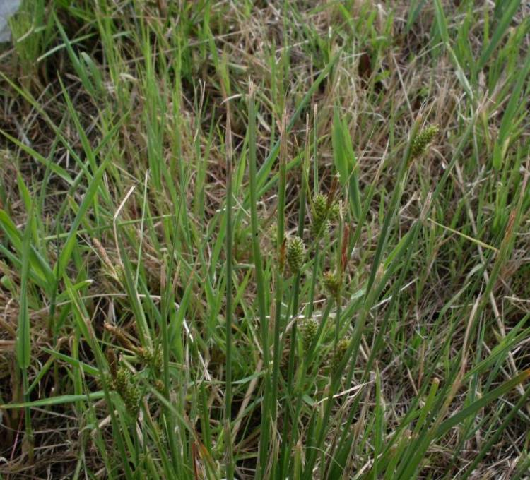 Carex extensa Gooden.