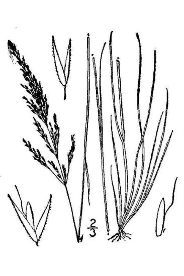 Agrostis canina,
