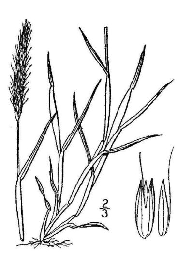 Alopecurus myosuroides,