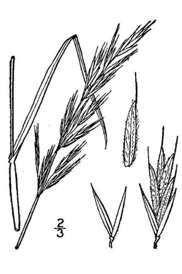 Bromus erectus,