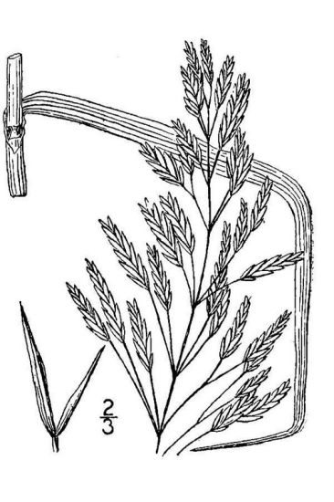 Bromus inermis,