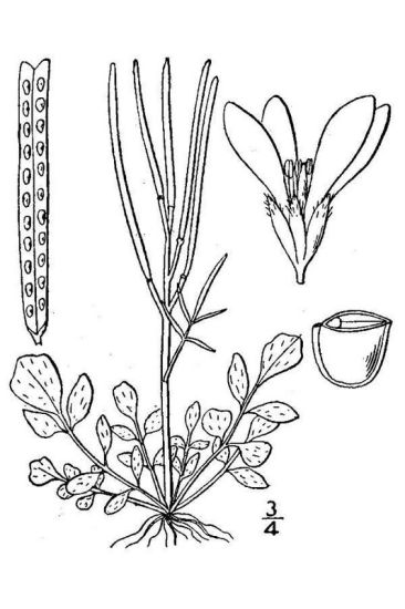 Cardamine hirsuta,
