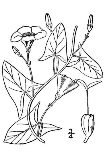 Convolvulus arvensis,