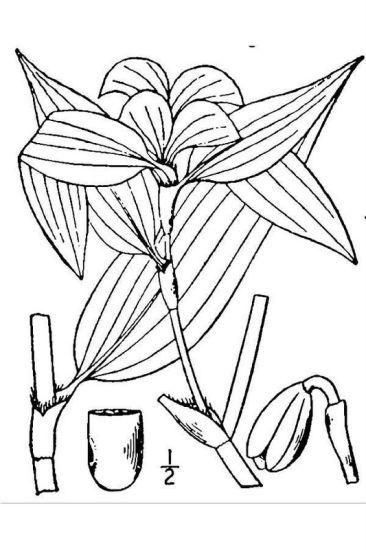 Commelina virginica erba miseria della virginia for Pianta della miseria