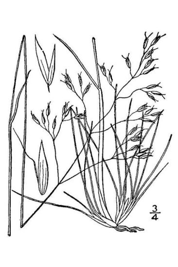 Deschampsia flexuosa (L.) Trin.