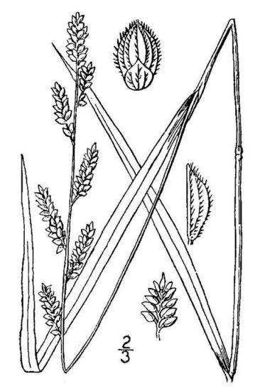 Echinochloa colona,