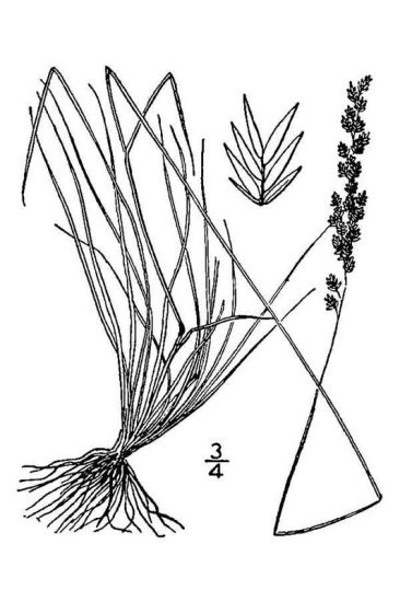 Festuca filiformis,