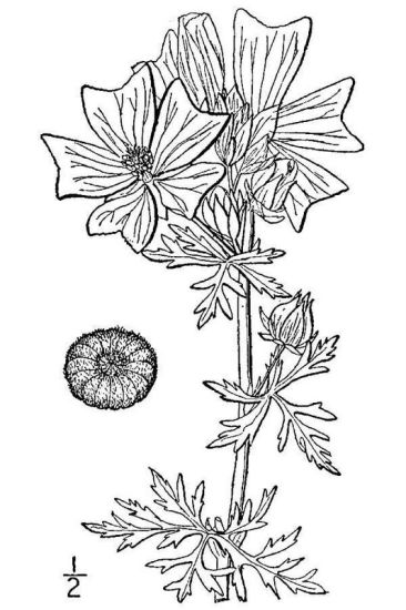 Malva moschata,