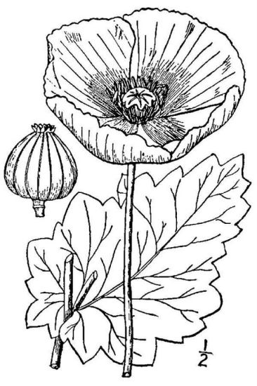 Papaver somniferum,