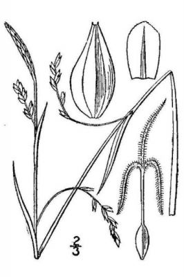 Carex vaginata -