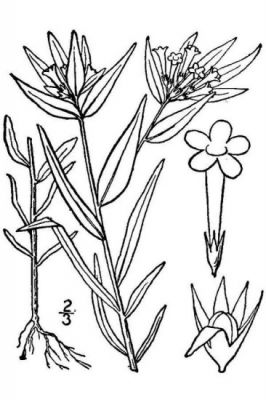 Collomia linearis -