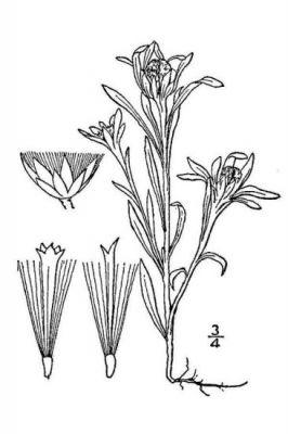 Gnaphalium uliginosum