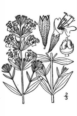 Hyssopus officinalis -