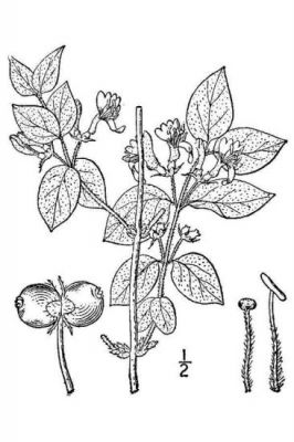 Lonicera xylosteum -