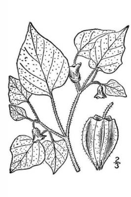 Physalis pubescens -