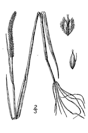 Alopecurus aequalis var. aequalis,