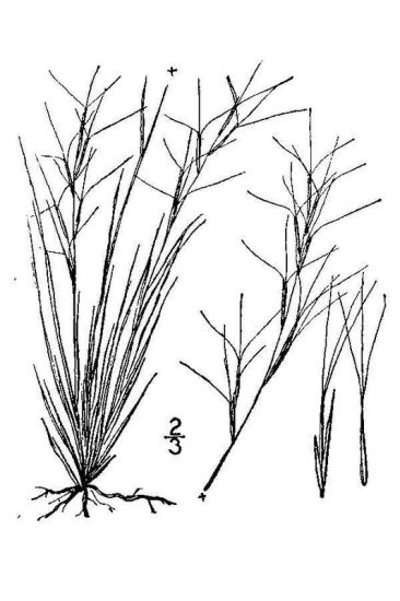 Aristida purpurea var. fendleriana,