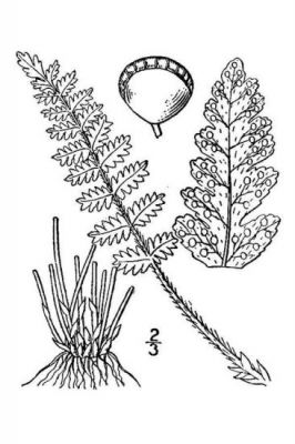 Woodsia ilvensis -