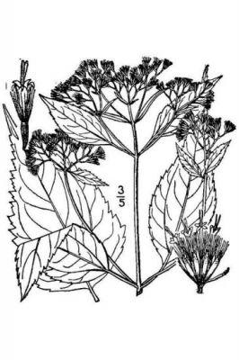 Ageratina altissima var. roanensis