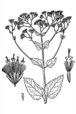 Ageratina aromatica var. aromatica