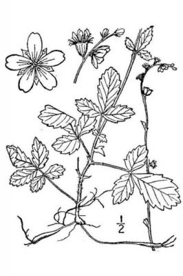 Agrimonia microcarpa