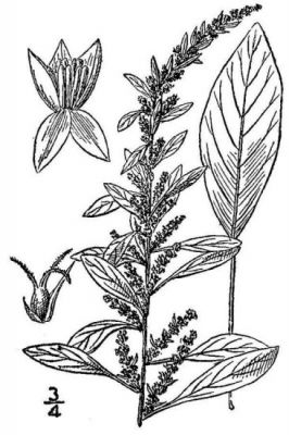 Amaranthus tuberculatus
